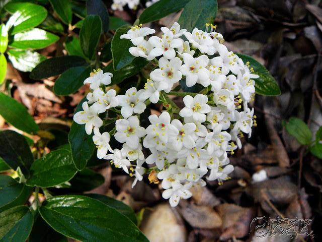 DSCN3287 Eskimo Viburnum blooms