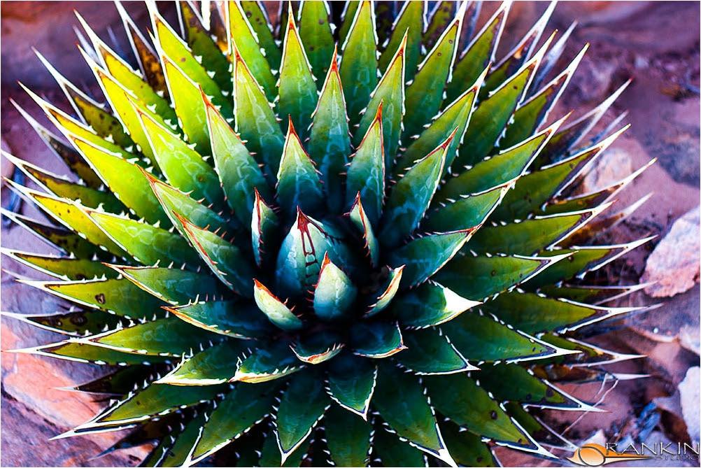 Yucca Plant Rankinstudio