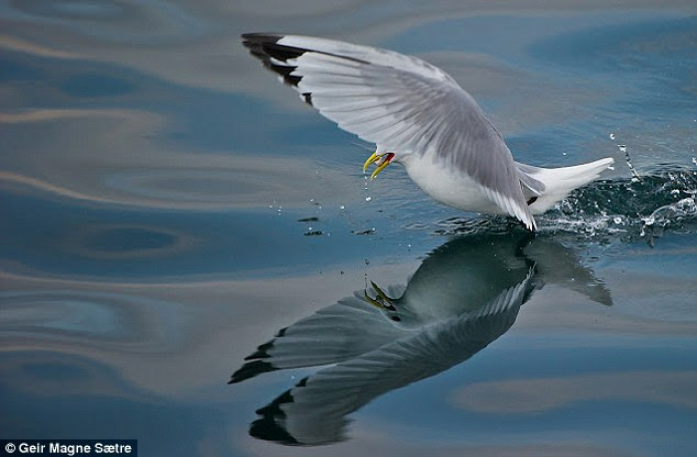 Bird of a feather: In another image, the seagull's feet are in the water, its wings raised high with the yellow and red beak slightly open