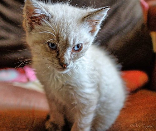Rescue Siamese Kitten
