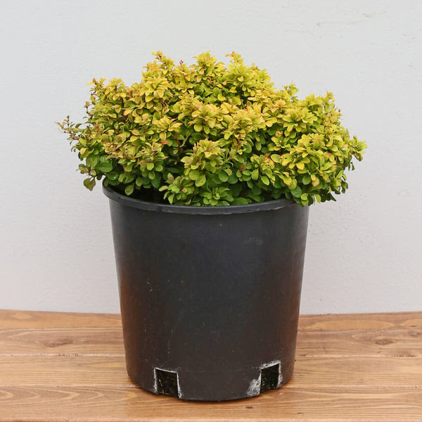 Barberry 'Gold Nugget' - Watson's Greenhouse