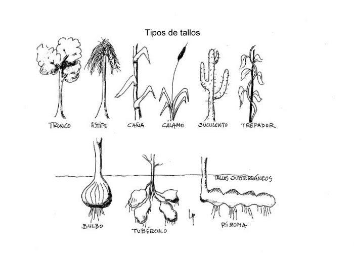 Pfcb tipos de tallos for Cuales son los tipos de arboles