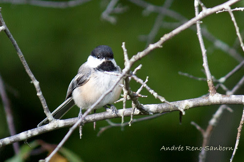 Black-capped Chickadee-4.jpg