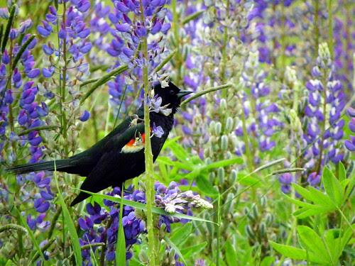 Red-Winged Blackbird III