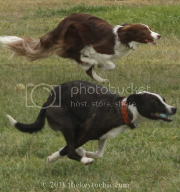 border collie, dog agility, Pooch Parade
