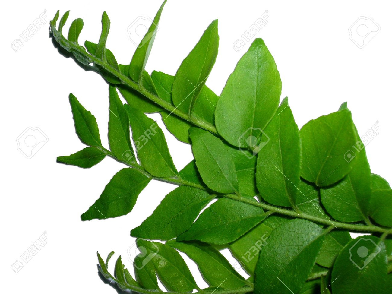 Image result for images of curry leaves