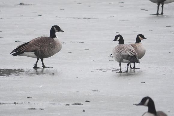 Ed Gaillard: birds &emdash; Cackling Geese and Canada Goose, Flushing Meadow Park