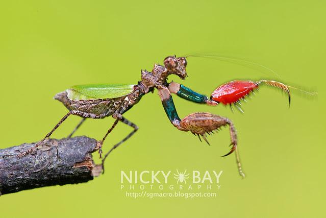 Pachymantis bicingulata - DSC_0675
