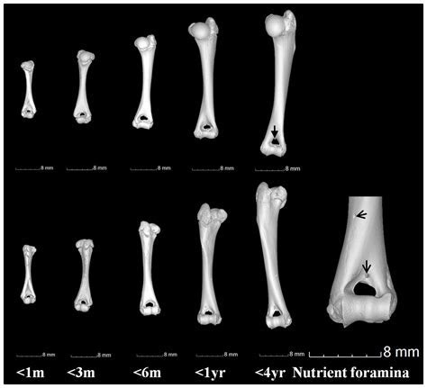 Computed tomography analysis of guinea pig bone: architecture, bone thickness and dimensions