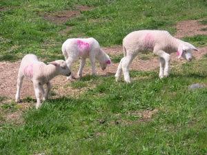 Spring Lambs at Barinaga Ranch