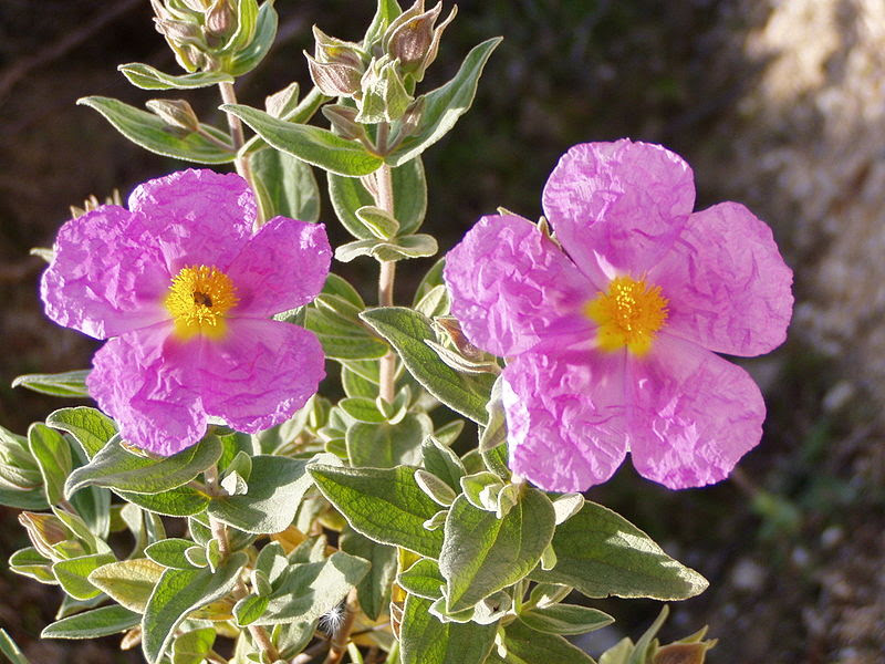 Fitxer:Cistus albidus flowers.jpg