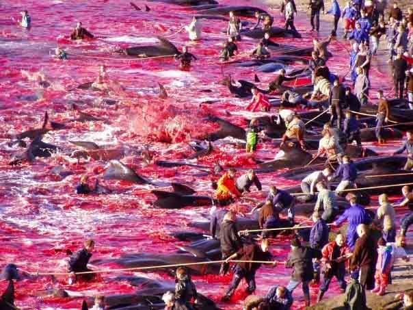 Laut Kepulauan Faroe di utara Eropa berubah warna menjadi merah oleh  darah ratusan paus y Pembantaian Paus yang Membuat Lautan Berwarna Merah Darah