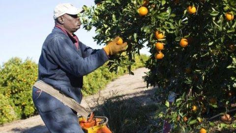 Un trabajador extranjero recogiendo naranjas