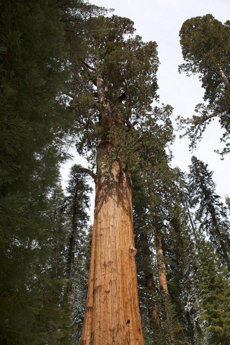Los 5 árboles Más Altos Del Mundo Plantas