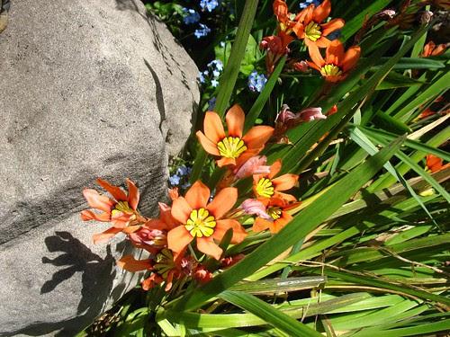 Sparaxis (blake Garden)