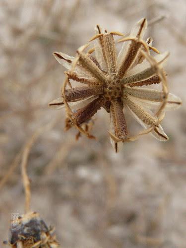 Greenthread (Hopi tea) seed head