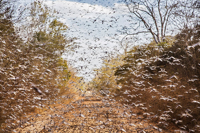 A plague of locusts