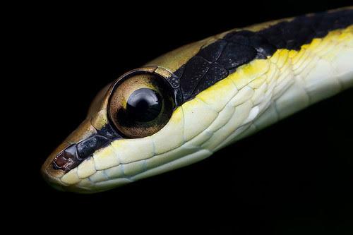 MPE65 snake shot Cohn's bronze back snake!!! IMG_4467 copy