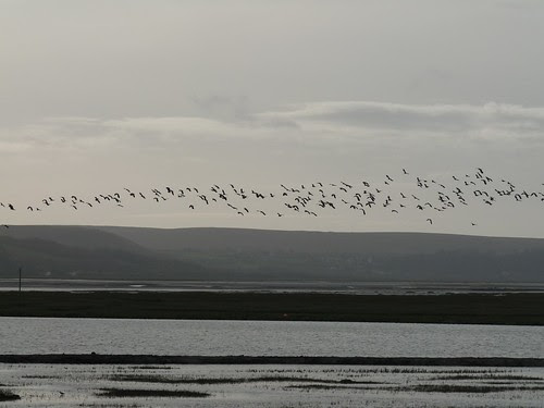 11780 - Lapwings over WWT Llanelli