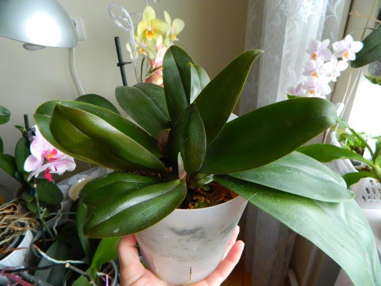 Высаженная орхидея