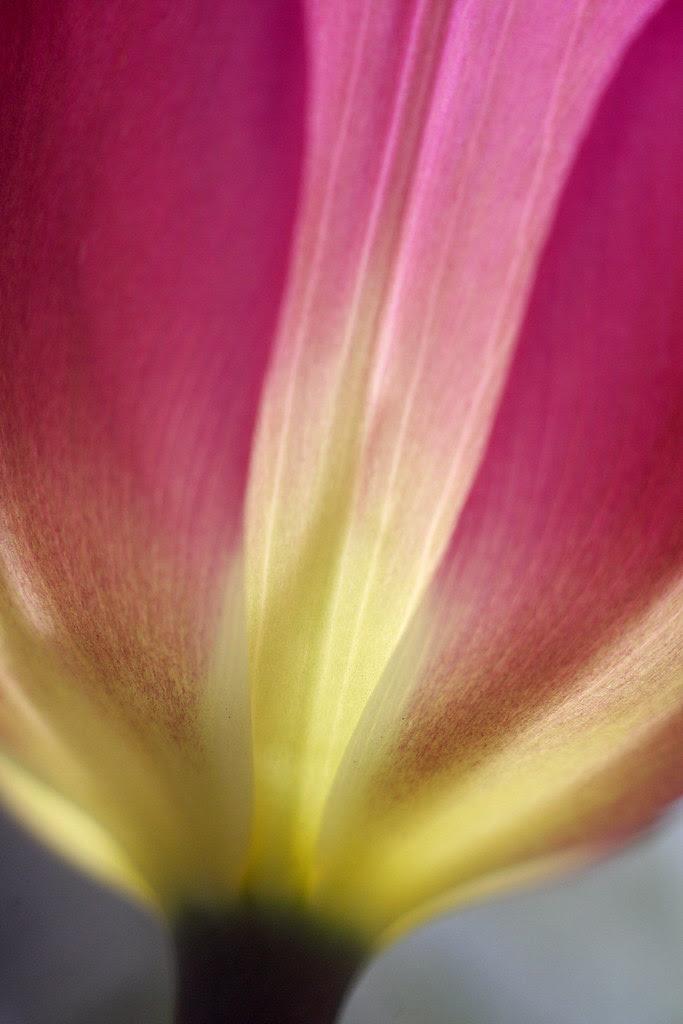 tulips (violet)