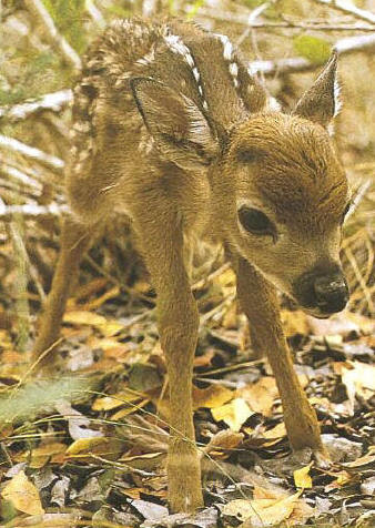 1-2 hour old Key Deer Fawn, picture credit: CWRL-SIUC/Key Deer Protective Alliance