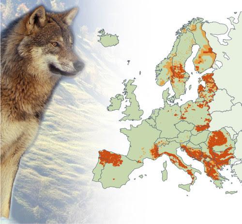 Wolf population in Europe.