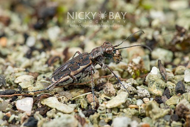 Tiger Beetle (Cicindelinae) - DSC_7169