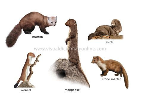 ANIMAL KINGDOM :: CARNIVOROUS MAMMALS :: EXAMPLES OF CARNIVOROUS MAMMALS [5] image   Visual