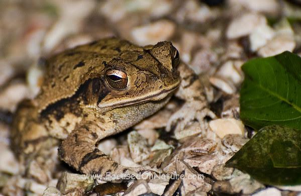 Rainforest Toad