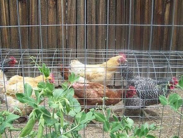 Creative Ideas - DIY Backyard Chicken Tunnel