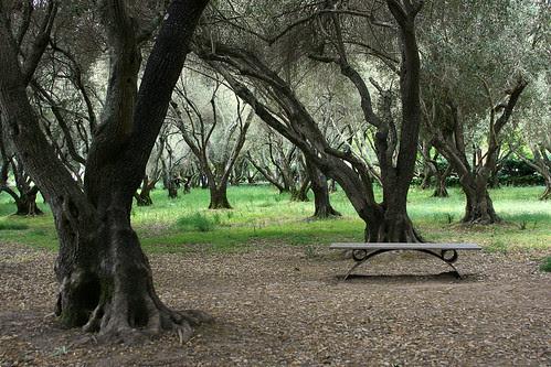 creepy olive grove