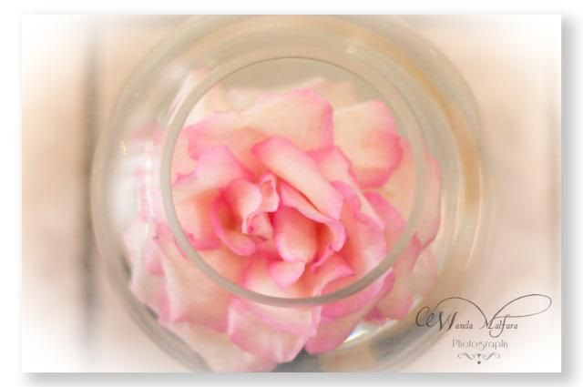 Fri. Apr 6,2012, And pink roses...my all-time favorite.