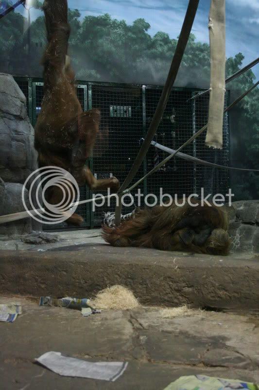 como zoo orangatanges playing