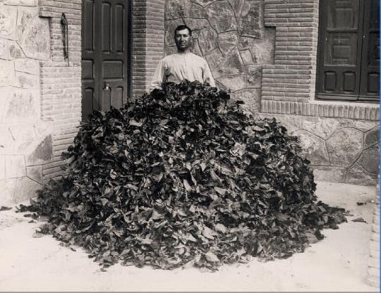 Montón de hojas de morera para alimentar gusanos de seda en el Monasterio de San Bernardo en Toledo en 1925.