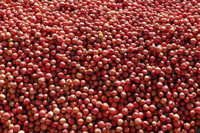 Recolección de granadas, un fruto que se cultiva en todo el Mediterráneo pero cuyo origen se sitúa en Irán.