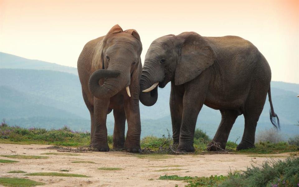 """Você sabia que os elefantes conseguem """"ouvir"""" pelos pés?"""