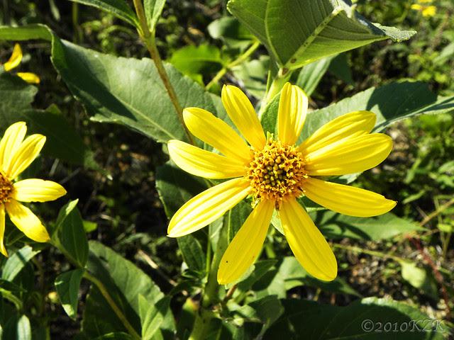 DSCN6703 KS wildflowers