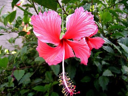 flor-rosada