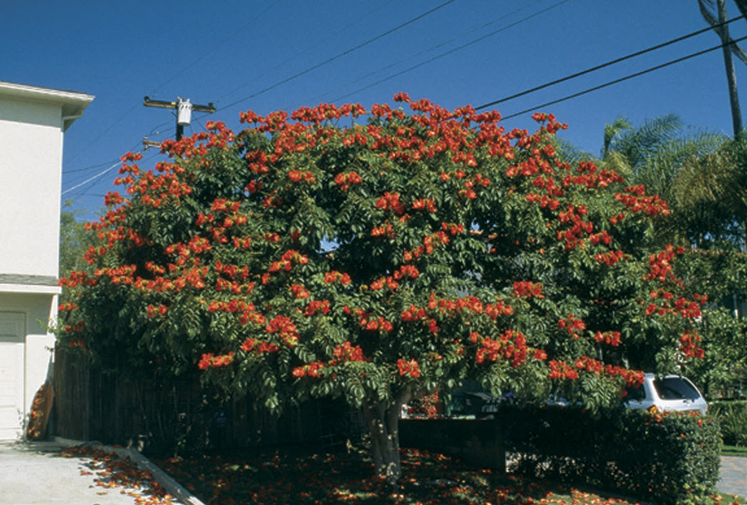 Pacific Horticulture Society African Tulip Tree