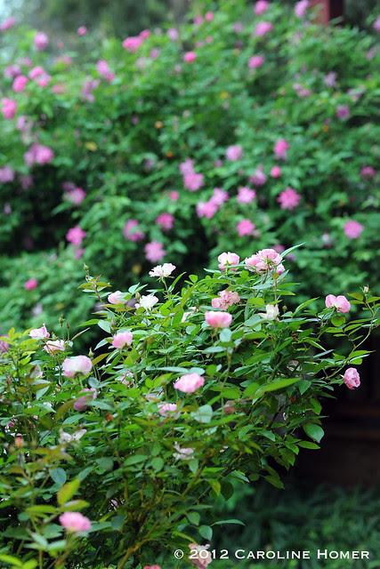 La Marne and Old Blush rose