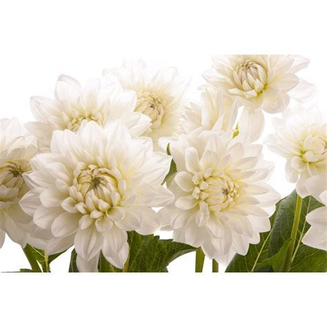 White Dahlia Flower   Dahlias   Types of Flowers   Flower Muse