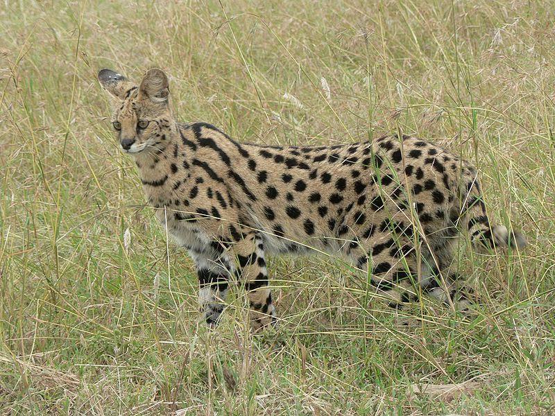 File:Serval in Tanzania.jpg