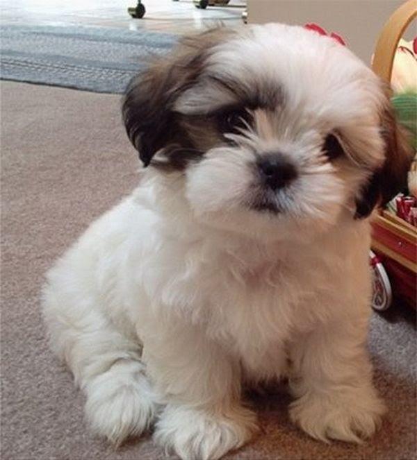 Shih Tzu  Pictures, Puppies, Information, Temperament