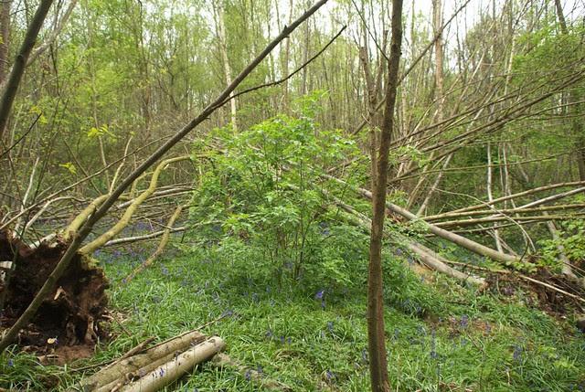 DSC_3956 woodland wind damage