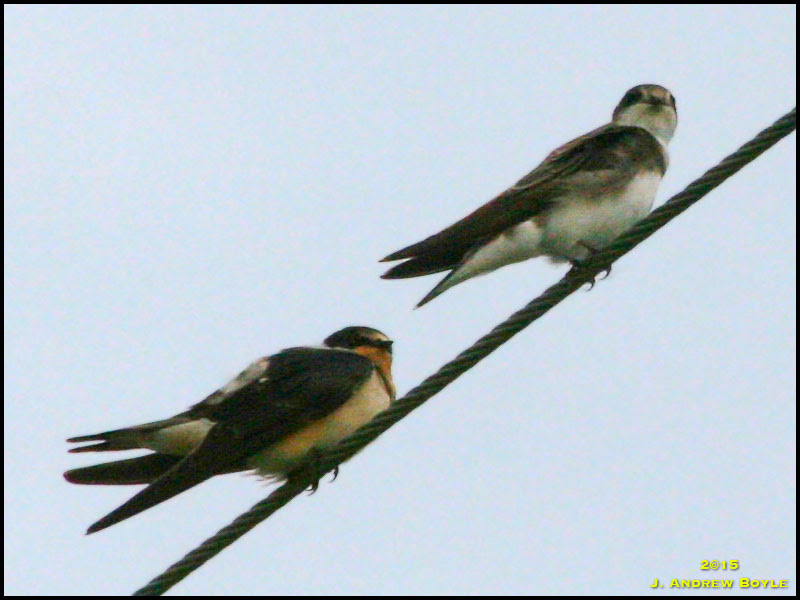Bank Swallow and Barn Swallow