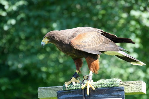 Hawk at Dunrobin Castle