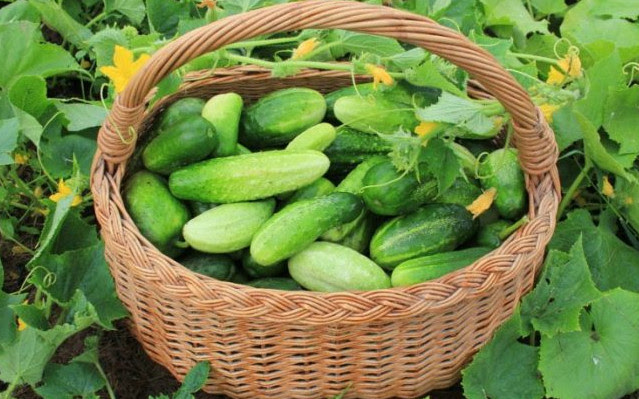 Как вырастить небывалый урожай огурцов - 9 проверенных способов? Это что-то новенькое...