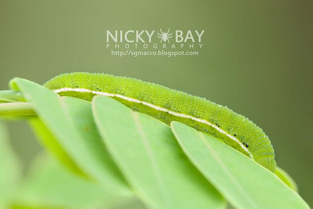 Orange Emigrant larva (Catopsilia scylla cornelia) - DSC_0032