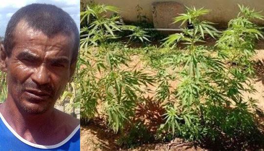 Segundo a polícia, maconha era cultivada na roça do acusado   Foto: Notícias de Santaluz
